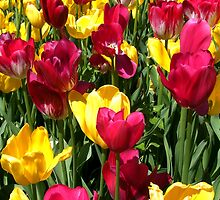 Colourful red and yellow tulips by Deb22