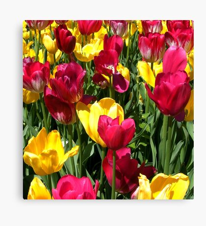 Colourful red and yellow tulips Canvas Print