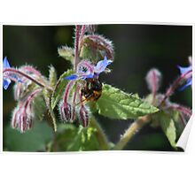 Bee on Borage Poster