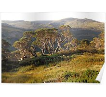 Snowgum group on main range, Snowy Mountains, Australia Poster