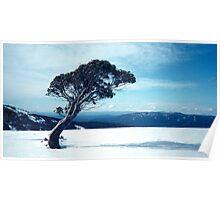 Snowgum bent over in winter Poster