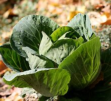 Green cabbage in a vegetable garden by marinamagri