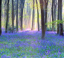 Bluebell Spring - An English Bluebell Wood in Spring by Doug Chinnery