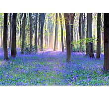 Bluebell Spring - An English Bluebell Wood in Spring Photographic Print