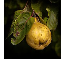 November Quince Photographic Print