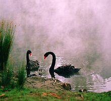 Swans,Daylesford by Joe Mortelliti