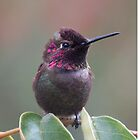 Anna's Hummingbird male from SD Balboa park by loiteke