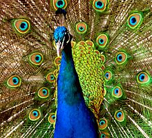 Eyes on Peacock...Melbourne by graeme edwards