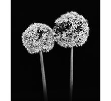 Alium Flowers by MoGeoPhoto