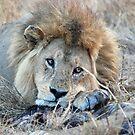 Male Lion - Serengeti by Brad Francis