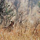 Male Cheetah - Serengeti rain by Brad Francis