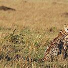 Cheetah - Masai Mara by Brad Francis