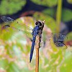 Blue Dragon by ewersphoto