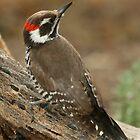 Arizona Woodpecker, Picoides arizonae by tonybat