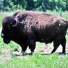 American Bison by Susan Russell