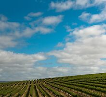 Vineyards 5 by Werner Padarin