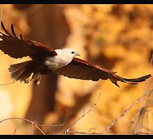 Brahminy Kite by batch