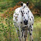 Beautiful Appaloosa!!!!!!!! by Ruth Lambert