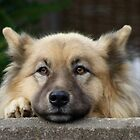German Shepherd waiting by wilderpisces
