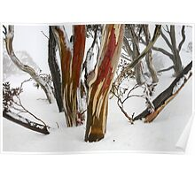 Colourful snow gums, Perisher Valley NSW Poster