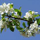 Tree Blossoms In Springtime by JaneLoughney