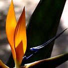 Strelitzia with water droplet. South Africa by Fineli