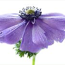 Blue anemone by Mandy Disher