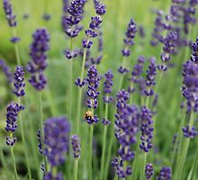 Ladybird and Lavender by miketv
