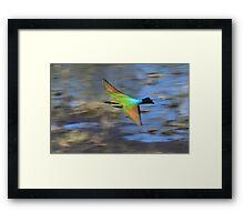 Rainbow Bee Eater - Derby Framed Print