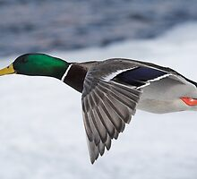 Mallard Drake by Wayne Wood