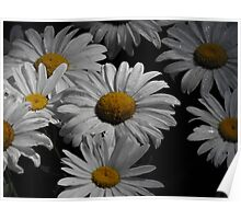 Oxeye Daisy's After A Rain Poster