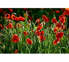 Poppies Remembered Photographic Print