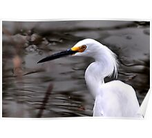 Snowy Egret Close-up Poster