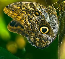 Owl Butterfly by Mark Robson