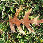 An Oak Leaf by KennethWright