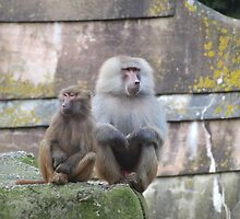 Baboons  romance ? by brevans