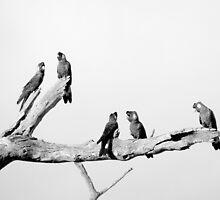 Black Cockatoos by Paul Todd