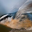 Red-breasted nuthatch blur by Gerry Danen