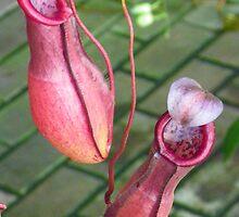 Pitcher Plant by wiscbackroadz