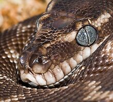 Devoted Mother- Rough-scaled python by Henry  Cook