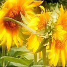 Dreamy Sunflowers by Ms.Serena Boedewig