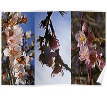 Willunga Almond Blossum Poster