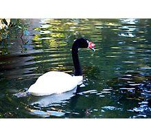 Black necked swan Photographic Print