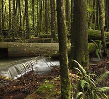 Rain Forest in Golden Ears Park by freelancebob