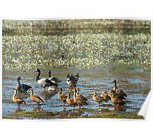 Geese and ducks in Kakadu NP wetlands Poster