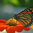Monarch Butterfly on Orange Zinnia by kellimays