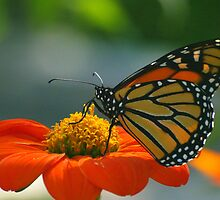 Monarch Butterfly on Orange Zinnia by kellimays
