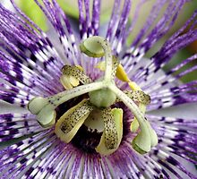 Purple Passion Flower Close Up by taiche