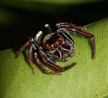 Jumping Spider by Jason Asher
