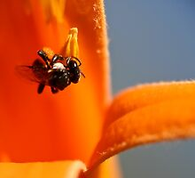 Australian Stingless Bee (Trigona carbonaria) 1 by WantedImages
